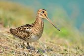 foto of snipe  - Snipe bird   - JPG