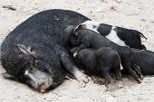 stock photo of pot bellied pig  - Vietnamese pig with piglets  - JPG