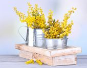 picture of mimosa  - Twigs of mimosa flowers in pails on wooden table - JPG