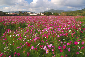 picture of cosmos flowers  - colorful coreopsis  flowers garden in asia village  - JPG