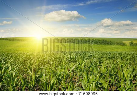 Beautiful sunset on corn field