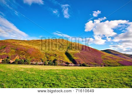 Colorful Landscape Scenery Of Pentland Hills Slope Covered By Violet Heather Flowers