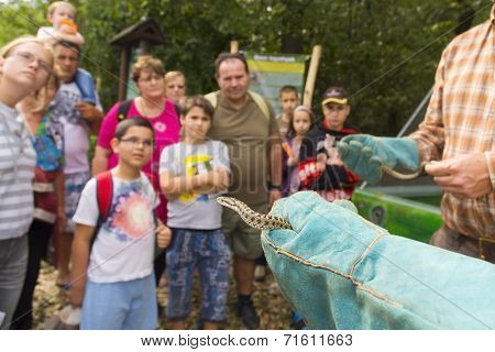 Day Of Hungarian Meadow Viper In Szeged