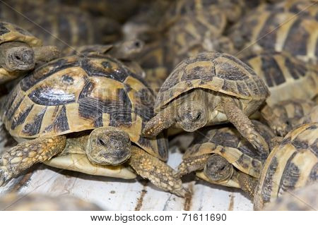 Crowd Of Smuggled Hermann's Tortoises (testudo Hermanni)