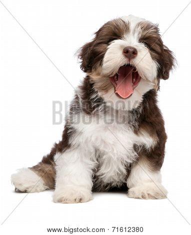 Funny Yawning Chocholate Havanese Puppy Dog