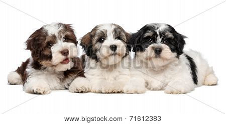 Three Cute Havanese Puppies Are Lying Next To Each Other