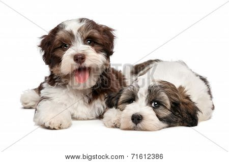 Two Cute Havanese Puppies Are Lying Next To Each Other
