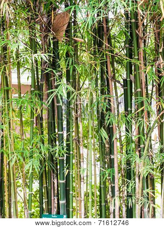 Bamboo Tree In Nature