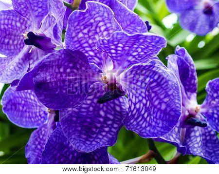 Violet Vanda Hybrid Flower In Nature