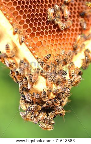 plenty of bees on honeycomb in apiary
