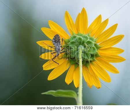 Wheel Bug (arilus Cristatus) On Sunflower