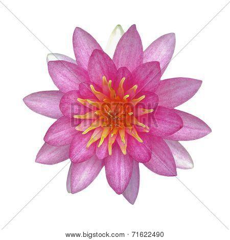 Waterlily Lotus Flower