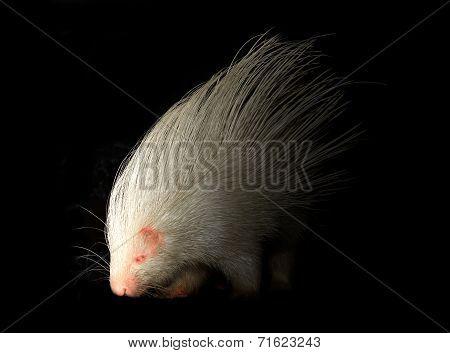 Albino Porcupine In The Dark