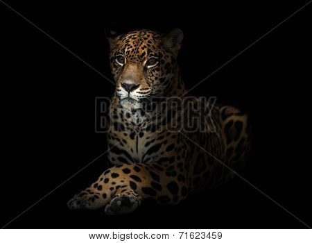 Jaguar ( Panthera Onca ) In The Dark
