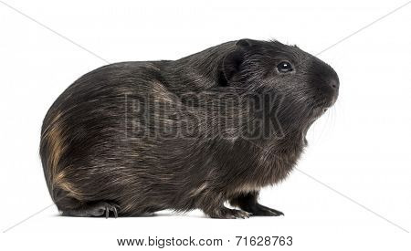 Side view of a Guinea pig