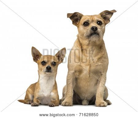 Chihuahua and Cross breed