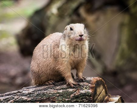Humorous Black-tailed Prairie Dog