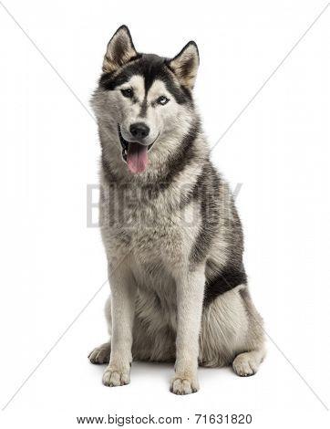 Siberian husky sitting
