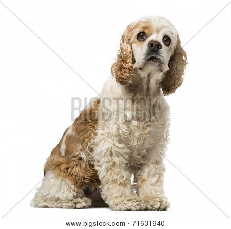 american cocker spaniel (6 years old)