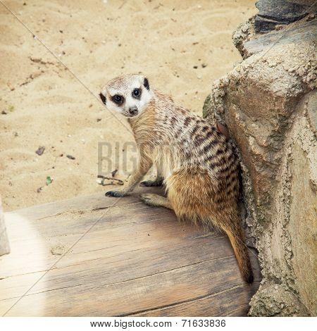 One Meerkat (suricata Suricatta)
