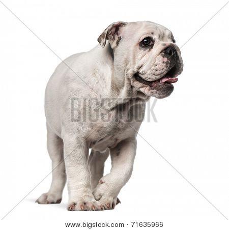 English Bulldog looking away