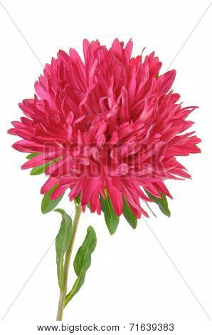 Red flower dahlia with green leaves