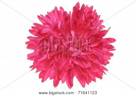 Red flower dahlia head