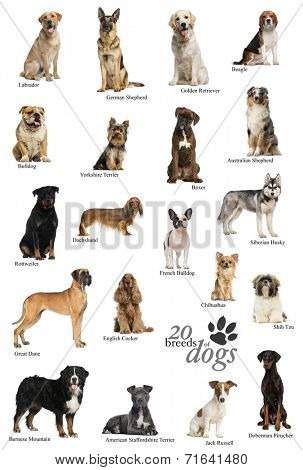 Dog breeds poster in English