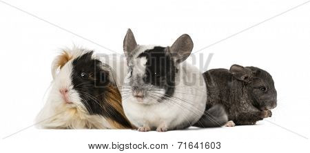 Guinea pig and Chinchillas