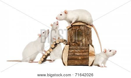 White Rats on a rat house