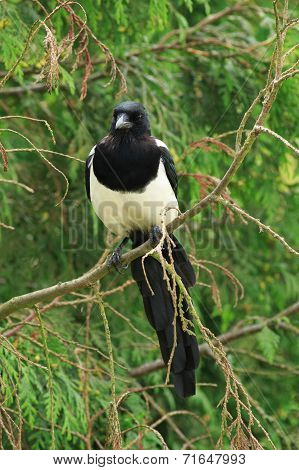 Magpie perched in a tree