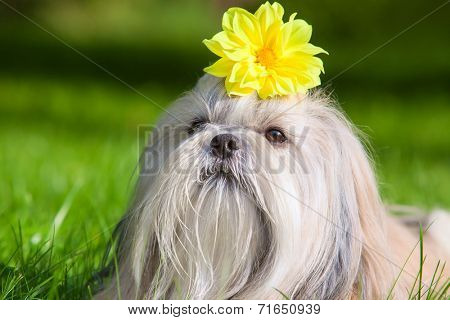 Shih tzu dog with flower.