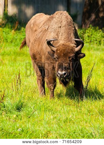 European Wood Bison
