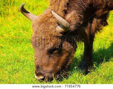 Head Of European Bison