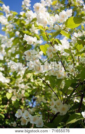 Jasmin Blossom Tree