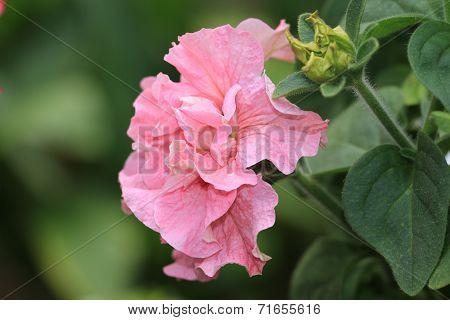 Common Petunia flower