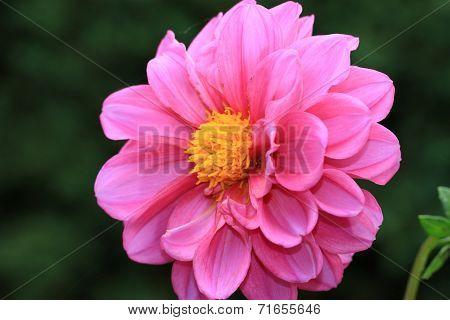 Dahlia flower in full bloom