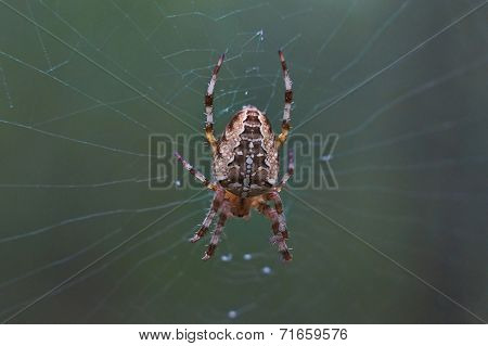 Cross Tee Spider In Its Network .