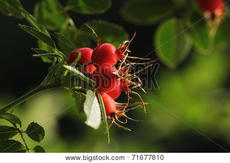 Red Rose Hips During Nice Autumn Day