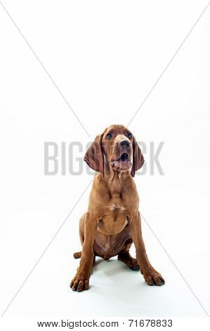 Hungarian or Magyar Vizsla isolated