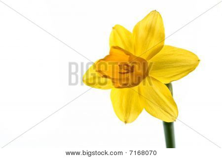 Closeup Daffodil