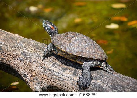 Painted turtle in wildlife