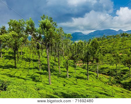 Kerala India travel background - green tea plantations with trees in Munnar, Kerala, India close up