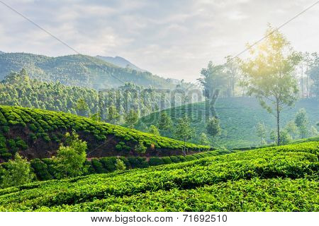 Kerala India travel background - green tea plantations in Munnar, Kerala, India in the morning on sunrise