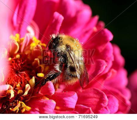 Macro Bumblebee