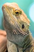 picture of lizard skin  - A close up shot of a Bearded Dragon Lizard