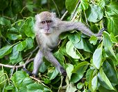 stock photo of phi phi  - Monkey on Monkey Beach Phi Phi Thailand - JPG