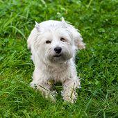 stock photo of westie  - West Highland White Terrier lies in green grass - JPG