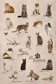 pic of american bombay  - Cat breeds poster in Dutch - JPG