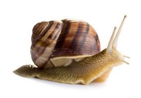 pic of garden snail  - Small garden Snail isolated on white background  - JPG